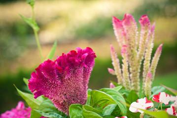 Celosia argentea 'Cristata'
