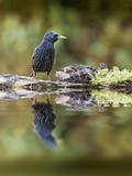 étourneau sansonnet reflet oiseau plumage bec poster