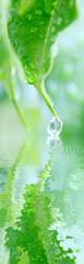 goutte d'eau sur feuille de ficus benjamina