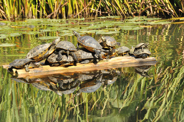 Riflessi di tartarughe