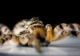 extreme macro of venomous spider poster
