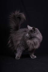 portrait of Norwegian female cat in action