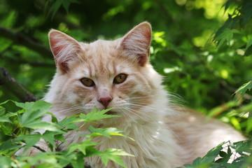 portrait of young male cat Norwegian