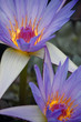 Purple water lilys closeup vertical