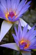 Purple water lilys closeup