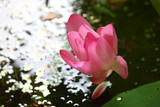 lotus blooming above water