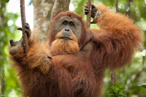 Fotobehang Leeuw wild orangutan
