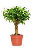 Fototapety A Ficus Benjamin (ficus benjamina natasja) in a brown pot