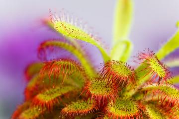 Drosera aliciae ,Sonnentau,fleischfressende Pflanze