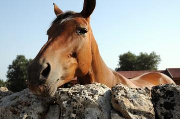 cavallo dietro ad un muretto
