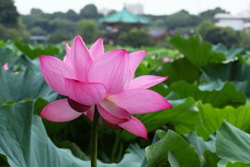 蓮花と弁天堂 (東京・上野不忍池)