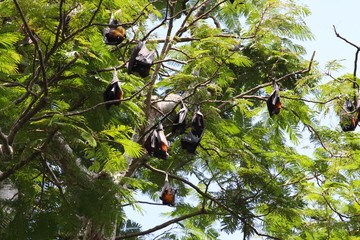 Big Bat Indonesia Bali