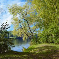 Willow on the river in early autumn
