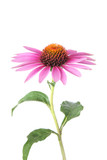 Isolated echinacea for medicine