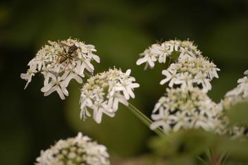 Insecte sur fleur de prairie