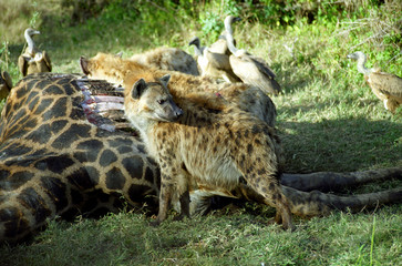 Spotted hyena, Kruger National Park, South African Republic