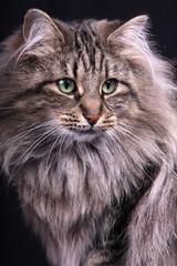 portrait study of young female cat Norwegian