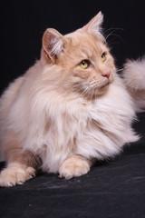 portrait study of young male cat Norwegian