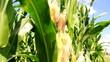 Corn Field - Tripod - Can be Looped