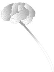 Cerveau gris