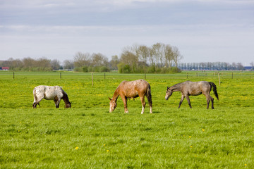 horses on meadow, Friesland, Netherlands