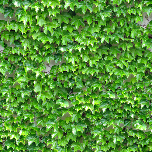 Ivy Seamless Texture Tile from Photographic Original