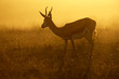 Springbok at sunrise, Kalahari desert, South Africa