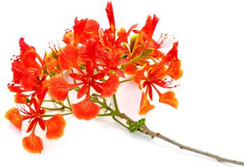 tige flamboyant rouge, fond blanc