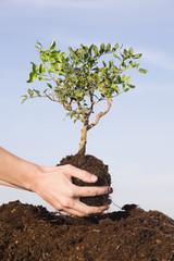 Person Pflanzen Pistazienbaum Erde