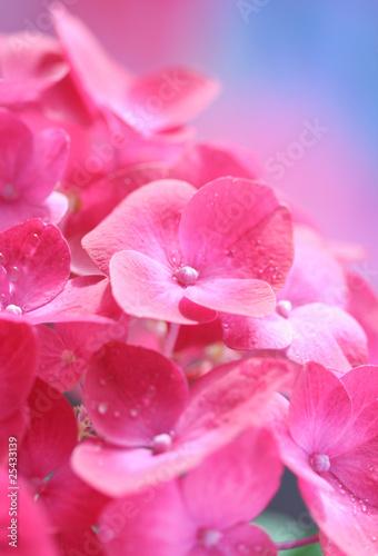 Close-up of hydrangea;