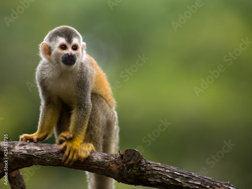 Fotobehang Eekhoorn Squirrel monkey in a branch in Costa Rica