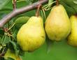 Reife leckere Birnen - Delicious Pears