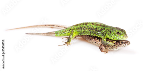 Lizards isolated on white background.
