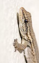Common Lizard (Juvenile)