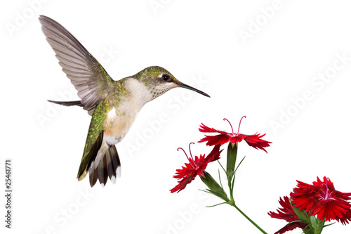 canvas print picture hummingbird and three dianthus
