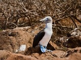 Blue-footed booby.