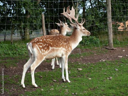 deer壁纸
