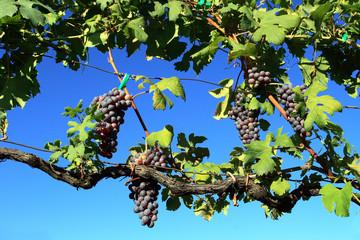 pergola di vite con uva nera