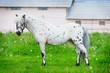 appaloosa pony