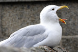 Shot of seagull screaming with beak wide open