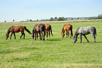 Pferde auf der Weide 793