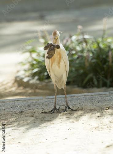 Bird eatin a sparrow