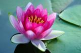 ninfea fiori 1063