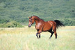 beautiful brown arabian horse running trot on pasture