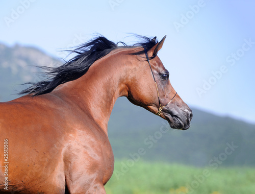 portrait of beautiful brown arabian horse in motion