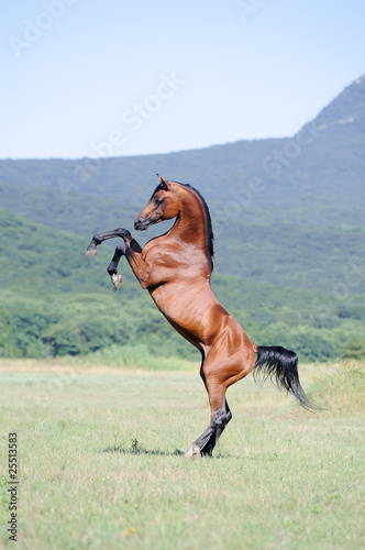 beautiful brown arabian horse rearing on pasture