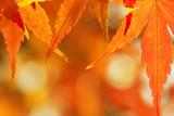 Fototapety Japanese Maple Leaves in Autumn