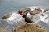 One puffin on the rock - Iceland