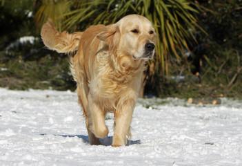 beau golden retriever marchant sur le sol enneigé