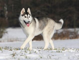 un chien avec de la neige sur la truffe